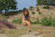 Développer les facultés olfactives de son chien avec le mantrailing